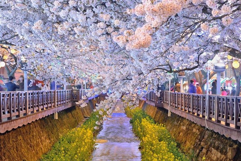 Jinhae-Cherry-Blossom-Festival
